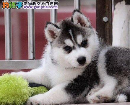 售三火双蓝眼哈士奇幼犬 贵阳的朋友上门卡看狗选择