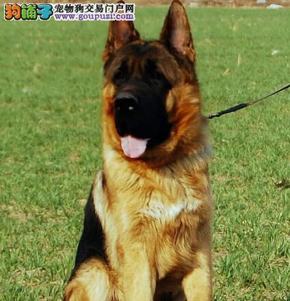 贵阳放心犬舍出售纯种顶级德国牧羊犬 请您放心选购