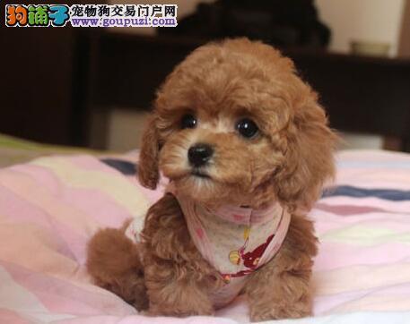深圳出售纯种泰迪幼犬 赛级品质 健康质保 免费送货