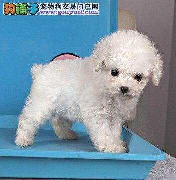 全程实物拍摄 北京韩系泰迪犬 可微信视频免费送货