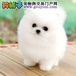 北京专业繁殖纯小体博美犬 俊介 可视频选可送货上门