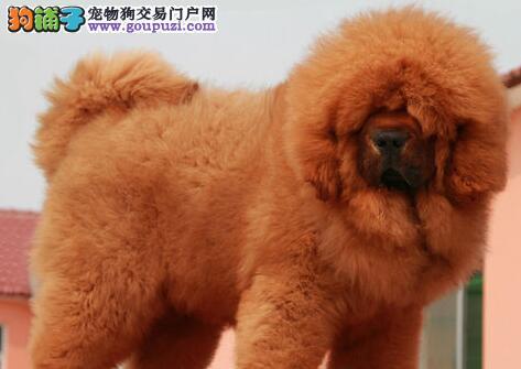 大型獒园促销顶级南宁藏獒质量保证售后三包