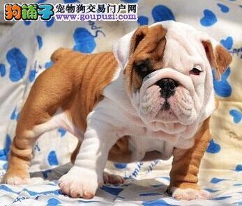 生理宝典 怀孕期间的斗牛犬应该如何护理
