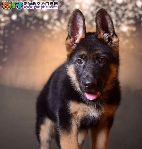 精品纯种天津德国牧羊犬出售质量三包微信看狗真实照片包纯