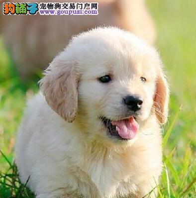 上海金毛犬特价出售中黄金猎犬可议价签订协议看狗父母