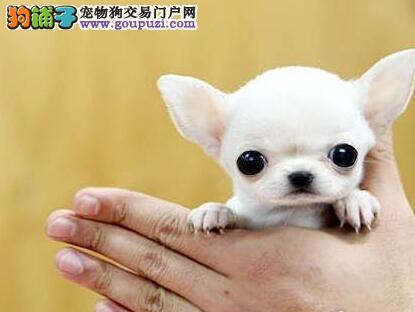 哈尔滨顶尖犬舍出售苹果头吉娃娃 支持全国空运发货