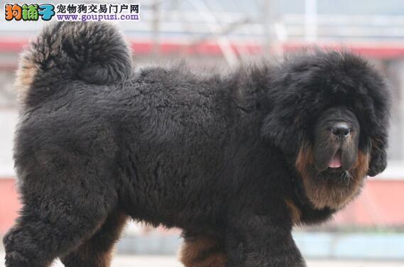 房山区出售大毛腿藏獒犬大骨量短嘴长相好幼獒菊花尾