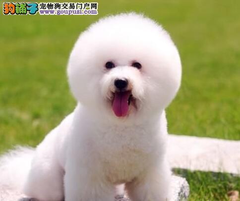 深圳出售法系卷毛比熊犬纯种血统 好品质的俊介犬幼犬