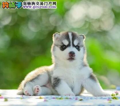 保定正规繁殖场出售完美品相的哈士奇幼犬 狗贩子勿扰