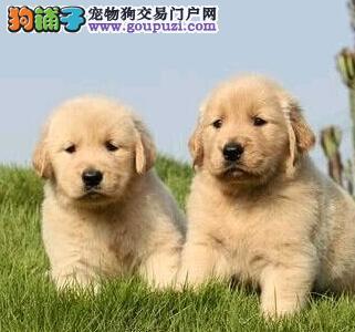 白山市售黄金猎犬幼犬 大头金毛寻回犬公母全