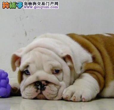 北京可爱呆萌英国斗牛犬 英斗萌犬幼犬可协议 售后三包2