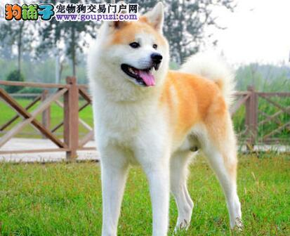沈阳基地出售高品质日系秋田犬毛色亮丽品质保证