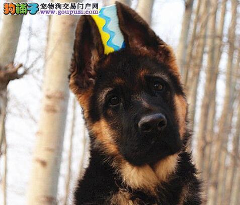 德牧德国牧羊犬 黑背黑贝 德国狼犬警犬杭州市出售