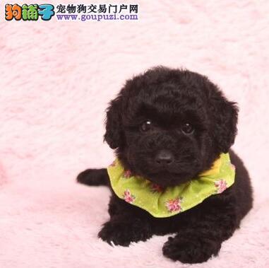 贵阳狗场繁殖出售多窝泰迪犬 公母都有可签订协议