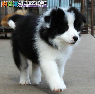 青岛自家繁殖边境牧羊犬出售公母都有签署质保合同2