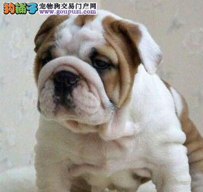 北京可爱呆萌英国斗牛犬 英斗萌犬幼犬可协议 售后三包3