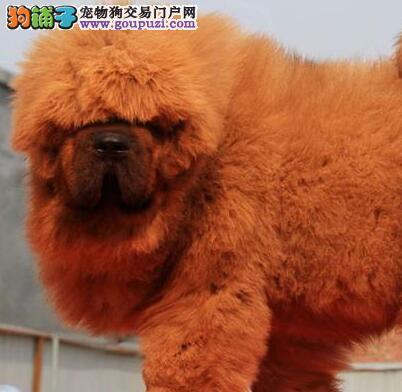 专业獒园出售顶级品质南京藏獒品相好售后有保障