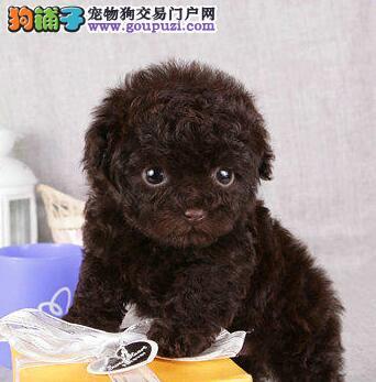 长沙纯种玩具体红泰迪犬宝宝公母都有可送上门挑选