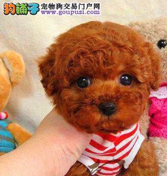 桂林名牌基地直销泰迪幼犬 建议大家上门看狗选购爱犬2