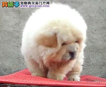 特价转让极品紫舌松狮犬 上海附近购买可享受低价