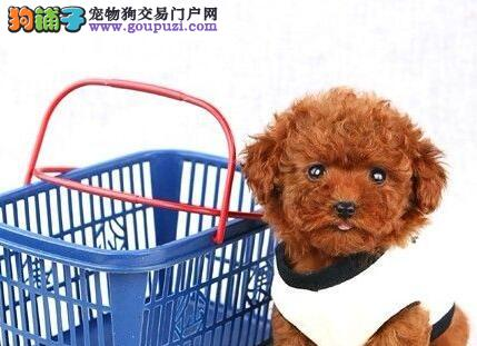 出售超高品质颜色纯正的青岛泰迪犬 多只幼犬供您选购