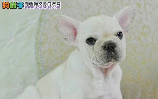 西安犬舍直销优质法国斗牛犬 自家繁殖 健康有保证