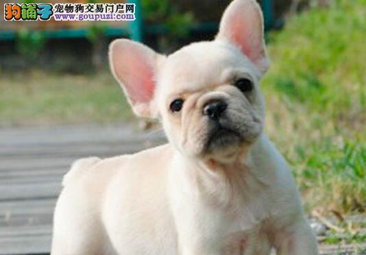 CKU认证犬舍出售高品质法国斗牛犬全国十佳犬舍