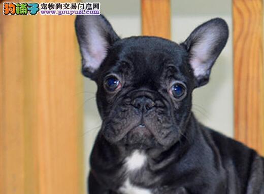 法斗犬长沙 长沙转让法斗幼犬 宠物狗法斗犬 CKU认证