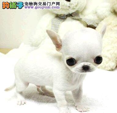 深圳养殖场专业繁殖吉娃娃幼犬出售 签协议包建康