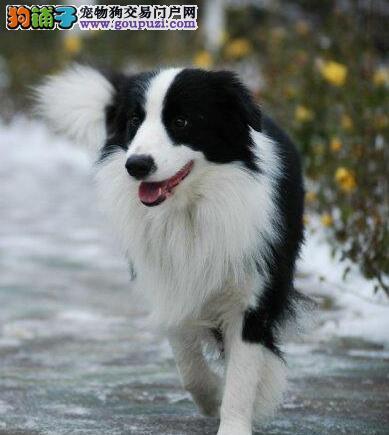 家养顶级品质边境牧羊犬转让兰州市内可上门看狗