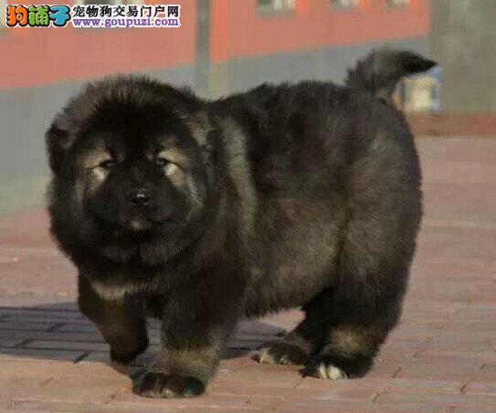 兰州基地多只高加索犬促销中购买可签订活体协议