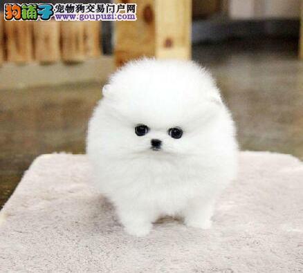 渭南市售纯种球体博美松鼠犬 哈多利系博美俊介母狗