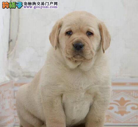 专业犬舍出售好品质兰州拉布拉多犬均可见父母
