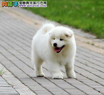 兰州基地促销高品质萨摩耶公母都有购犬有礼品