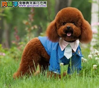 上海出售纯种贵宾幼犬,预购从速哦!