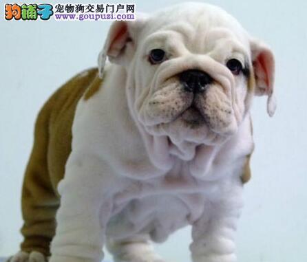 终身质保质量三包可签协议北京带血统出售英国斗牛犬图片