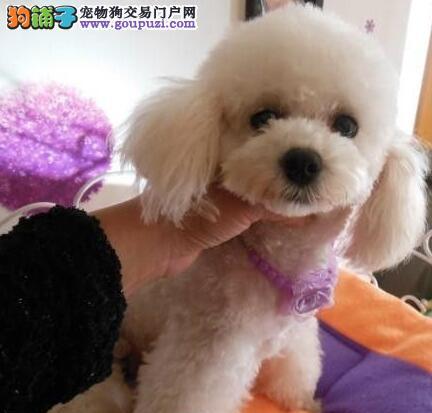 大型犬舍热销名贵血统的贵宾犬深圳地区狗犬赠送芯片