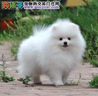 深圳自家繁殖纯种博美犬热卖中球形体保证健康