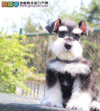 重庆出售高品质迷你雪纳瑞 胡子小老头犬