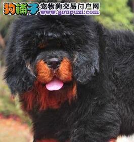 精品藏獒幼犬一对一视频服务买着放心全国十佳犬舍