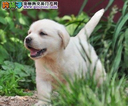 成都出售纯种拉布拉多幼犬签协议 保证健康 可见狗父母