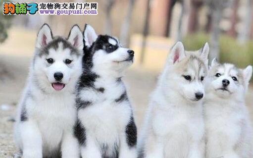 哈尔滨大型犬舍直销出售精品哈士奇 已做进口疫苗
