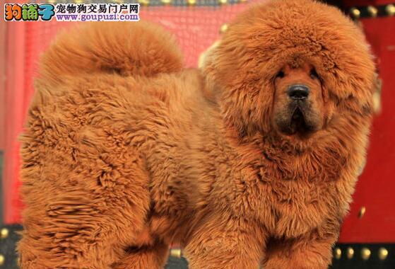 西宁实体獒园出售大狮子头的藏獒幼崽 签订售后协议