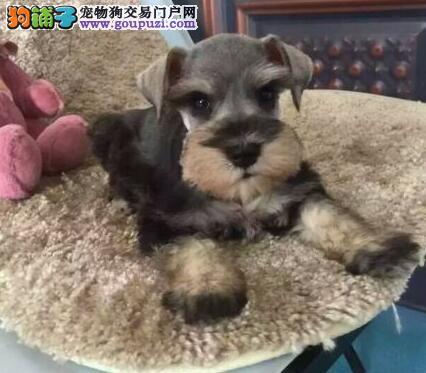 极品纯正的北京雪纳瑞幼犬热销中期待您的咨询