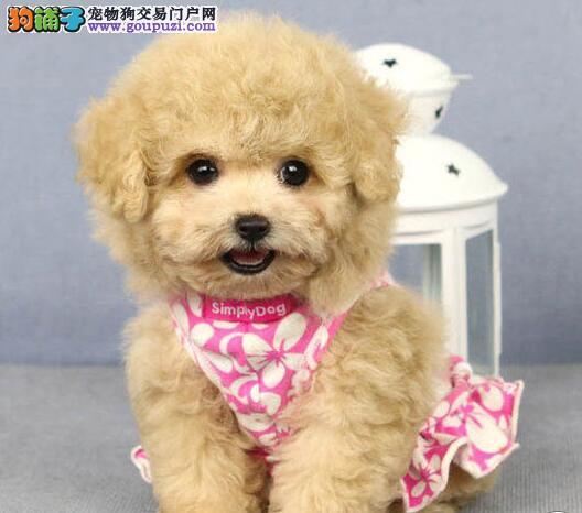 出售多种颜色西安纯种泰迪犬幼犬终身售后协议