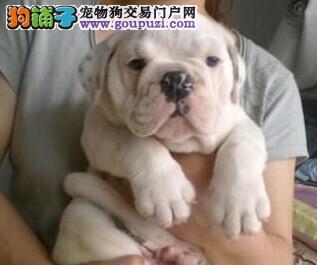 济南正规犬舍出售顶级品相的斗牛犬 疫苗驱虫已做好2