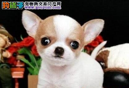 出售墨西哥血统苹果头吉娃娃幼犬 南宁市内免费送货