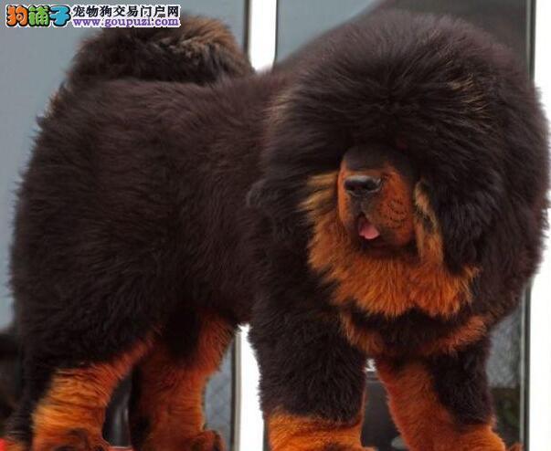武汉小藏獒热销 价格实惠 骨量足毛量大 四肢粗壮硕大1