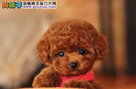 南京最大狗场 纯种泰迪犬等品种热卖中 保健康送用品