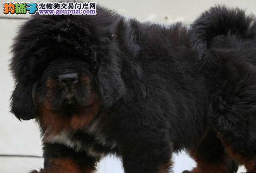 武汉小藏獒热销 价格实惠 骨量足毛量大 四肢粗壮硕大2